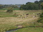 Cows at pasture on a dairy farm. - by Jenny