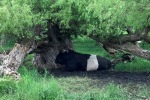 """Belted Galloway bull staying out of the sun in his """"man cave""""! - by Rachel"""