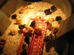 Baby chicks - by Aaryn
