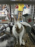 Importance of rabbits in agricultural society. - by A. M. L.