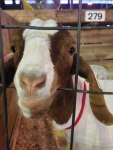 MN State Fair goats - by Emma S.