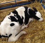 One day old calf - by Marybeth H.
