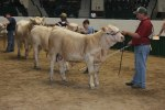 Showing the calf for calf champion - by Sue H.